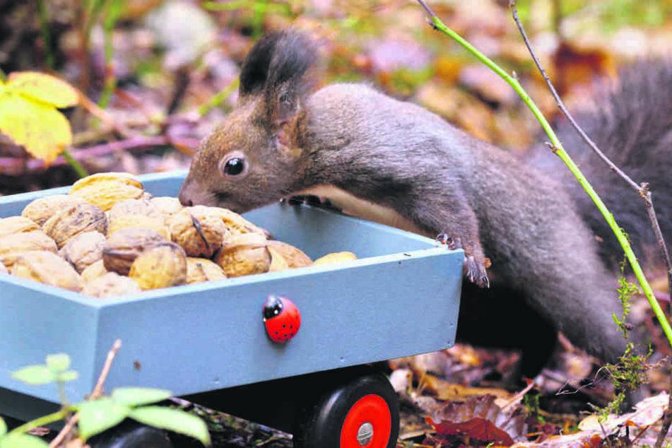 Eines der vielen zutraulichen Eichhörnchen aus dem Zauberwald schnappt sich eine Walnuss.