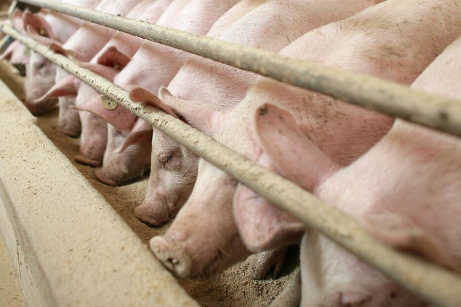 Mehr als 130 Schweine kamen bei dem Brand ums Leben. (Symbolbild)