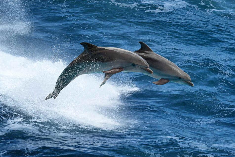 Nach einer großangelegten Marineübung in der Nordägäis wurden in Griechenland unverhältnismäßig viele tote Delfine registriert.