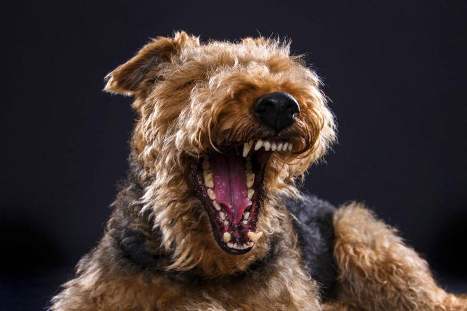 Ein Welsh Terrier hat in Gera einen Jungen gebissen.
