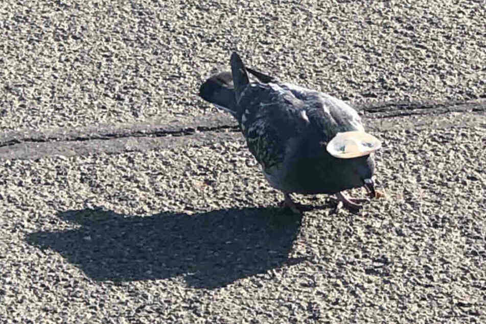 Unbekannte haben dieser Taube in Reno einen Sombrero aufgeklebt.