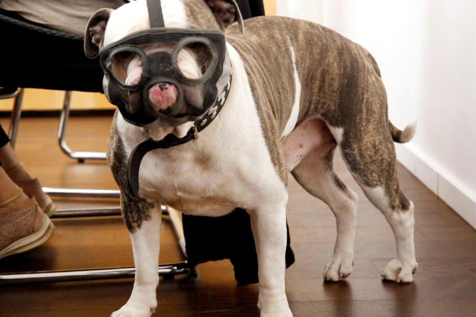 """Das Gericht musste die Frage klären, wie gefährlich Bulldogge """"Kalle"""" ist."""