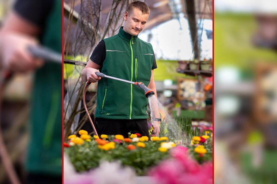 Tino Lorenz (26) vom Gartenfachmarkt Richter wässert den Blumen-Dauerbrenner Ranunkeln.
