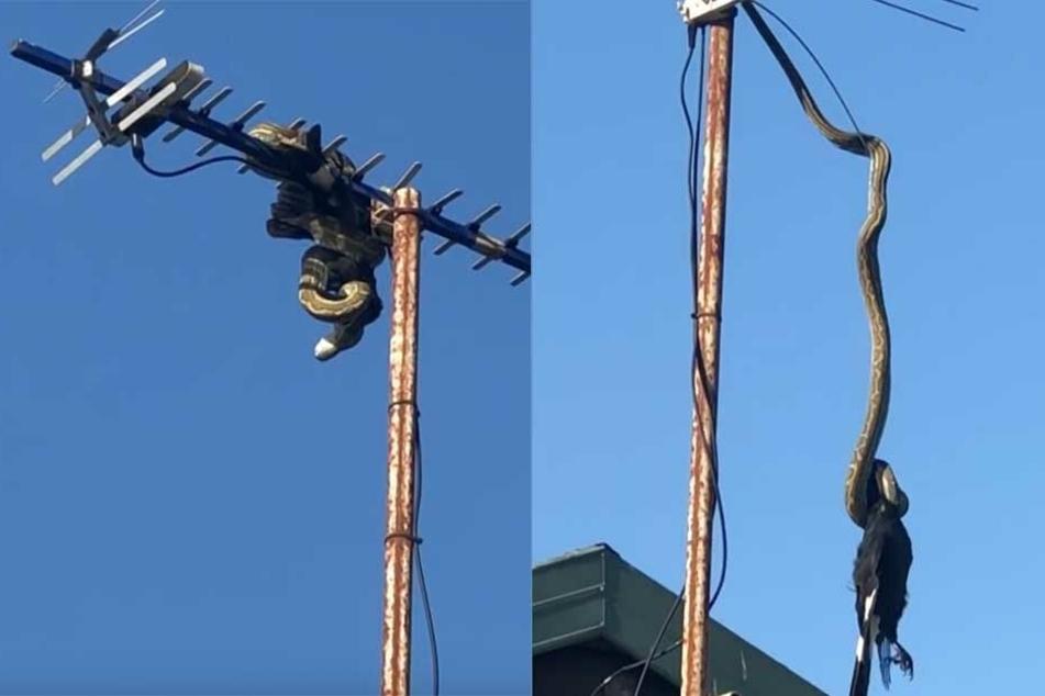 Die Schlange hat sich ihre Beute auf der Antenne geschnappt (li.) und versucht sich dann unter einigen Problemen runterzuwürgen (re.).