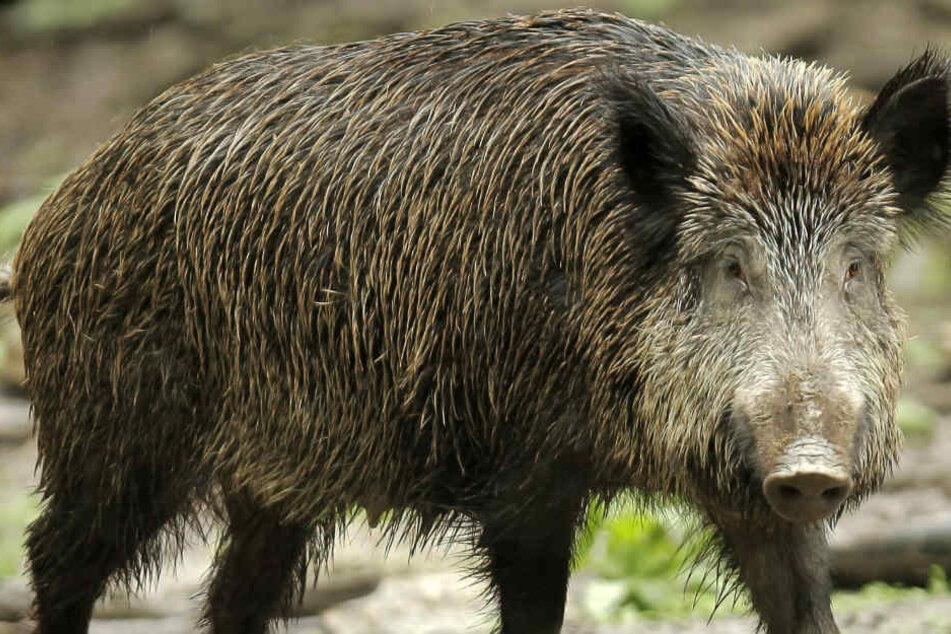 Ob das Erschießen so vieler Wildschweine wirklich die Lösung für das Problem ist? (Symbolbild)