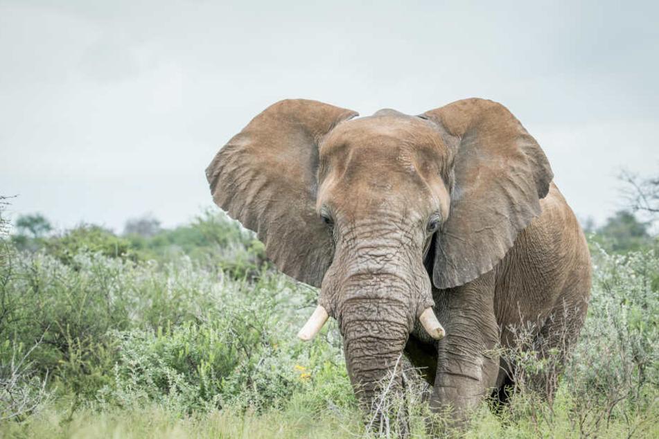 Ein wilder Elefant in Nepal hat eine Frau zu Tode getrampelt. (Symbolbild)