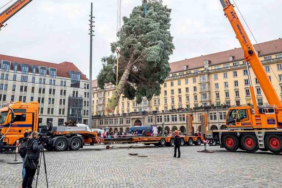 Damit Ende des Jahres auf dem Altmarkt wieder ein prächtiger Baum aufgestellt werden kann, sucht die Stadt bereits jetzt eifrig.