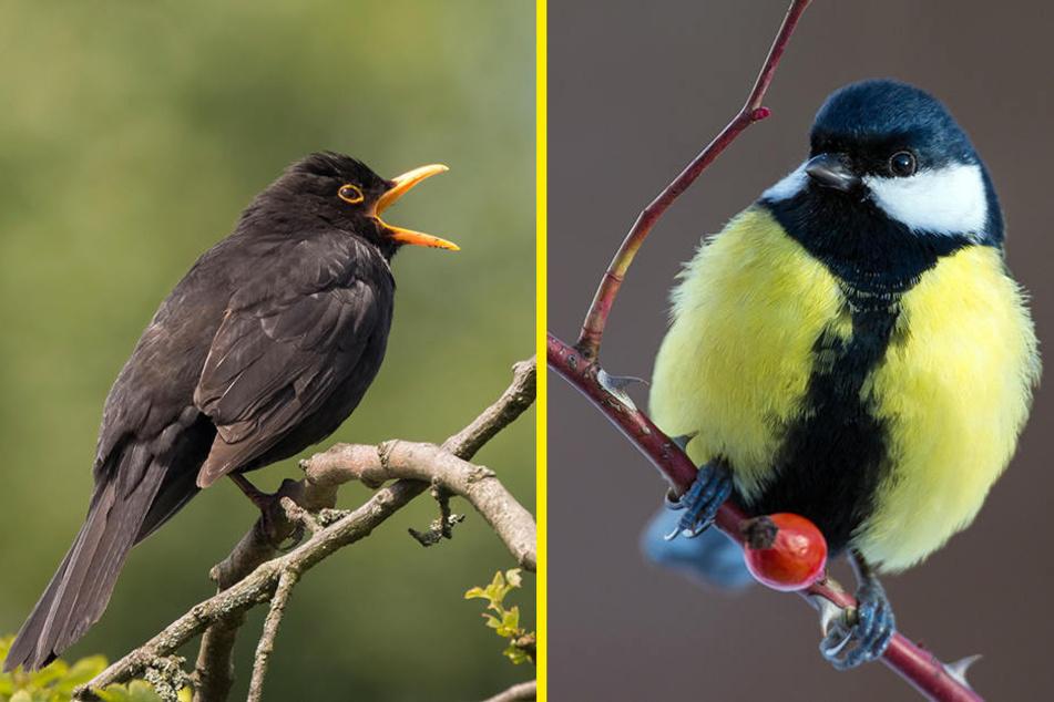 Die Amsel (F.l.) erkennt wohl jedes Kind. Aber auch anhand ihres Gesangs? Die Kohlmeise (F.r.) ist die am weitesten verbreitete Vogelart Deutschlands.