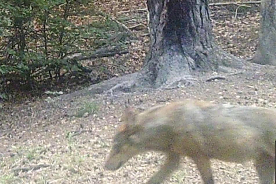Der Wolf wurde vor gut vier Wochen von einer automatischen Fotofalle erfasst.