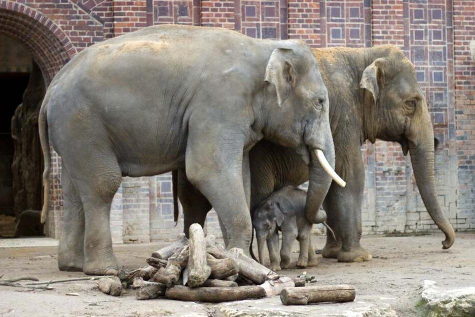 Das kleine Elefantenbaby neben Mama Rani (l.) und Tante Don Chung.