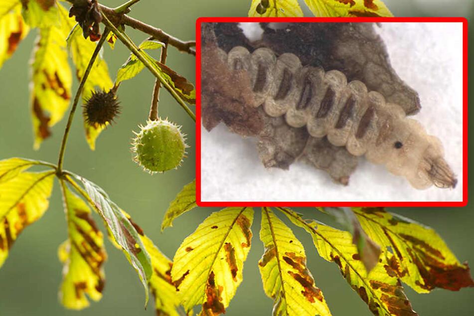 Seit rund 20 Jahren befällt die Mottenart massenhaft Kastanien in Europa. (Bildmontage)