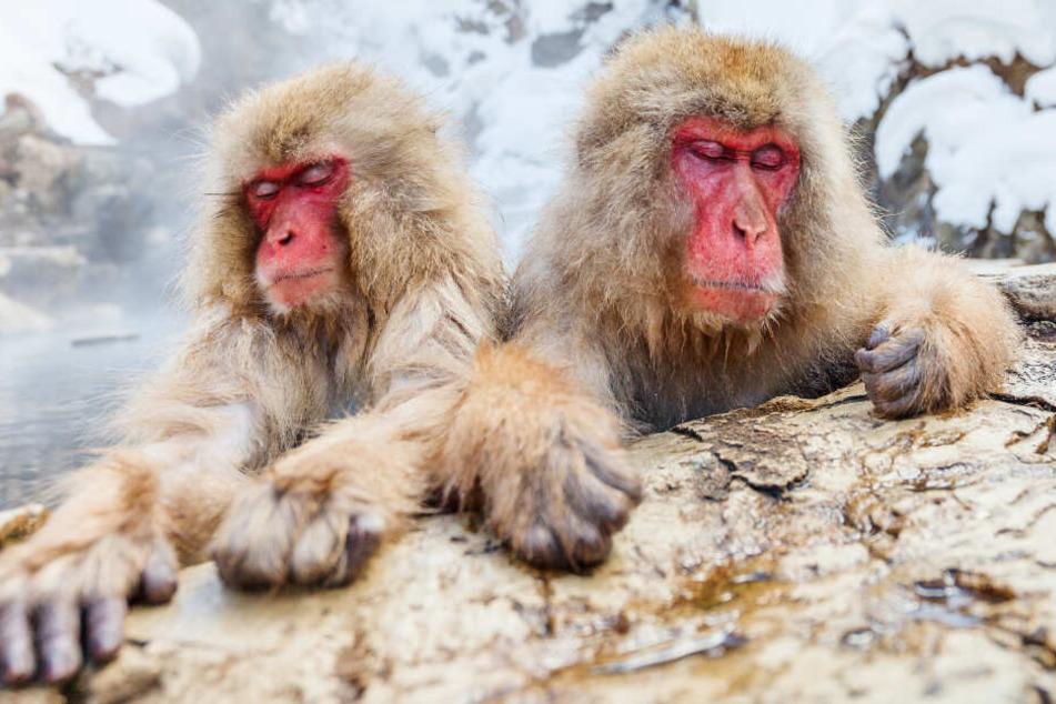 Mit solchen Affen ist in Indien nicht zu spaßen (Symbolbild).