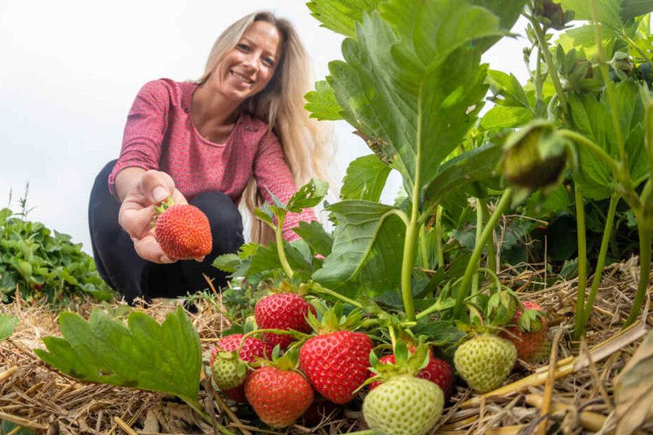 Erdbeeren wie gemalt: Bianca Scholz (33) freut sich über reiche Ernte.