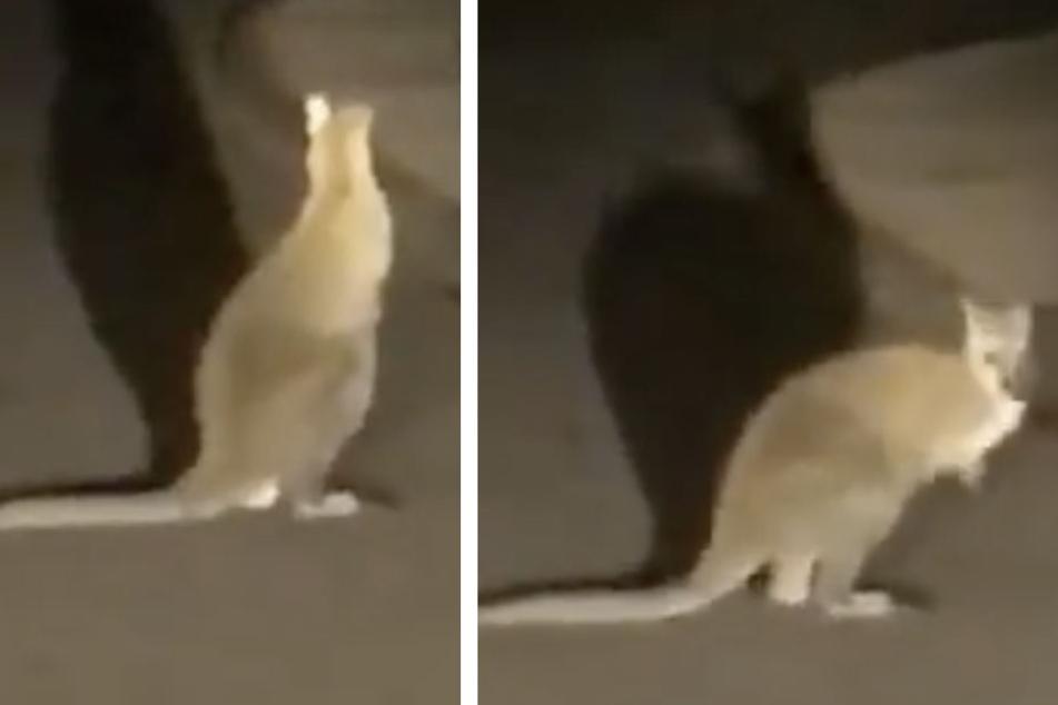 Video: Hier hüpft ein ausgebüxtes Känguru mit Jungtier im Beutel durch Sachsen