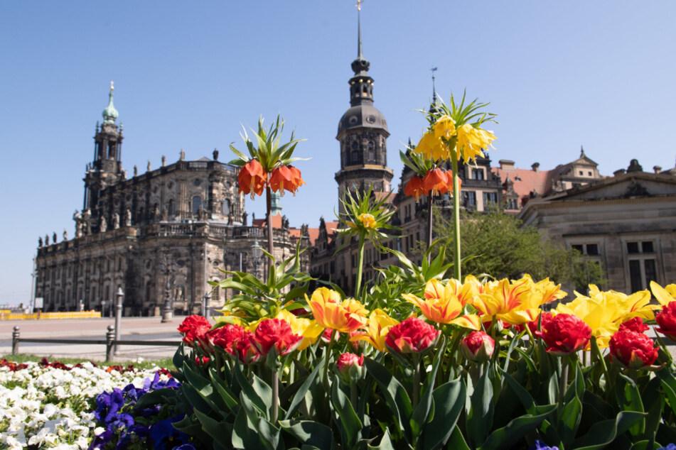 Herrlich: In Dresden blühen auch dieses Jahr Sommerblumen. Das Rathaus beginnt heute mit der Bepflanzung.