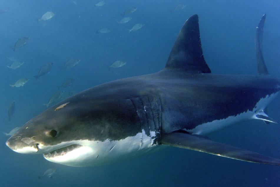 Tragödie an der Küste: 50-Jähriger stirbt nach Haiangriff!