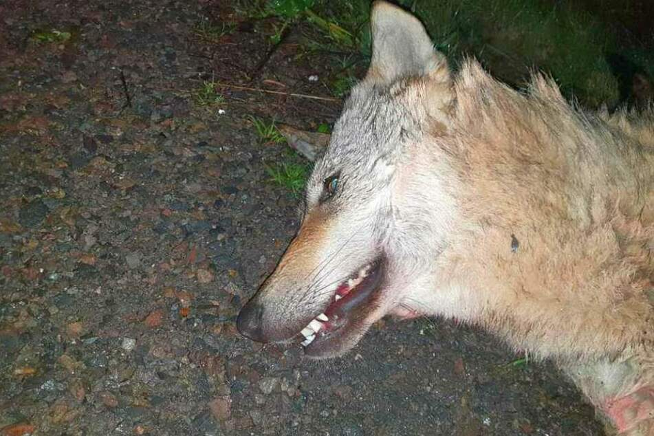 Experten sicher: Tierkadaver war Wolf