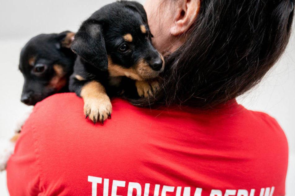 Zwei Hundewelpen werden von einer Mitarbeiterin im Arm gehalten.