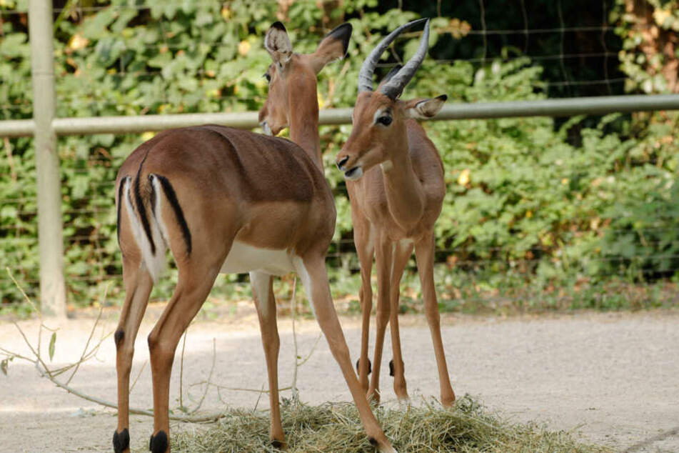Soll sich paaren: Impala Horst (r.).