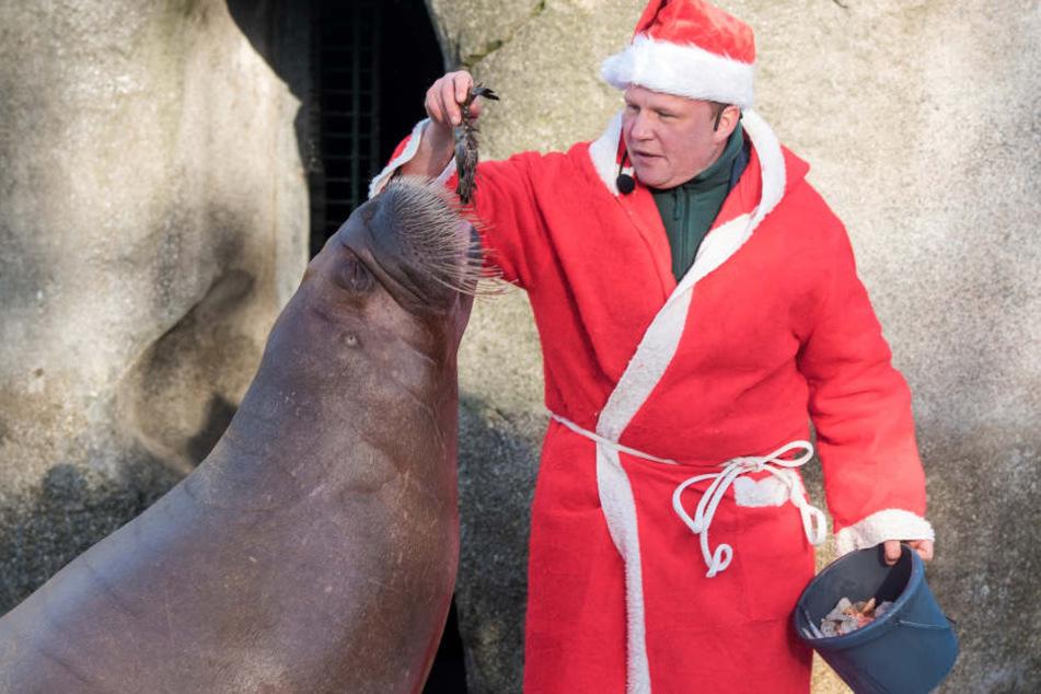 Dirk Stutzki, Tierpfleger, füttert als Nikolaus verkleidet ein Walross.