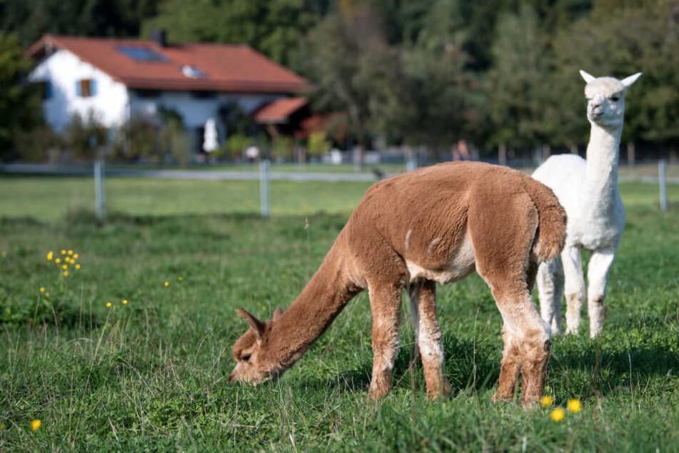 Es sind schon einige Alpakas verstorben, weil sie von Besuchern gefüttert wurden.