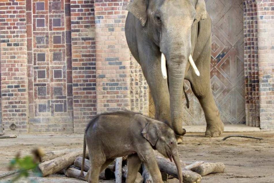 Der Mini-Rüssel ist bereits im Außengehege der Elefanten zu beobachten.