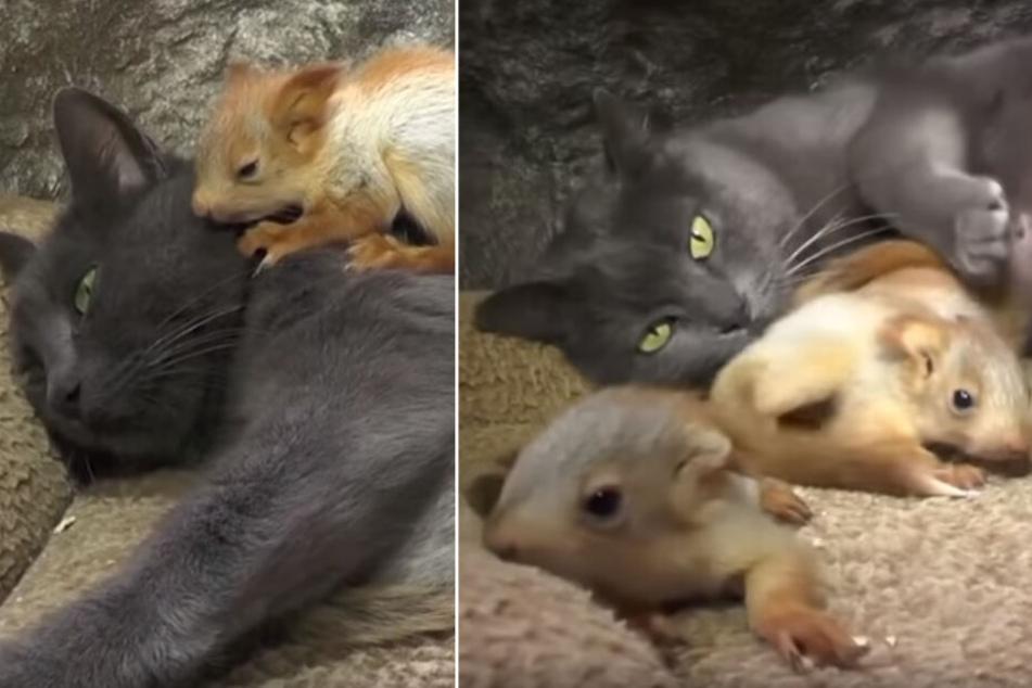 Verwaiste Findelkinder: Katze Puscha adoptiert süße Eichhörnchen-Babys