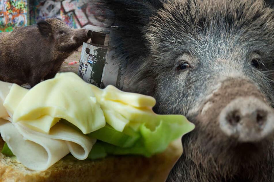 Gourmets unter den Wildschweinen gibt es nur vereinzelt.