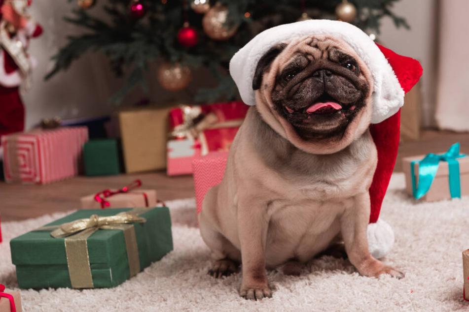 Ein Mops sitzt mit Weihnachtsmütze zwischen den Geschenken.