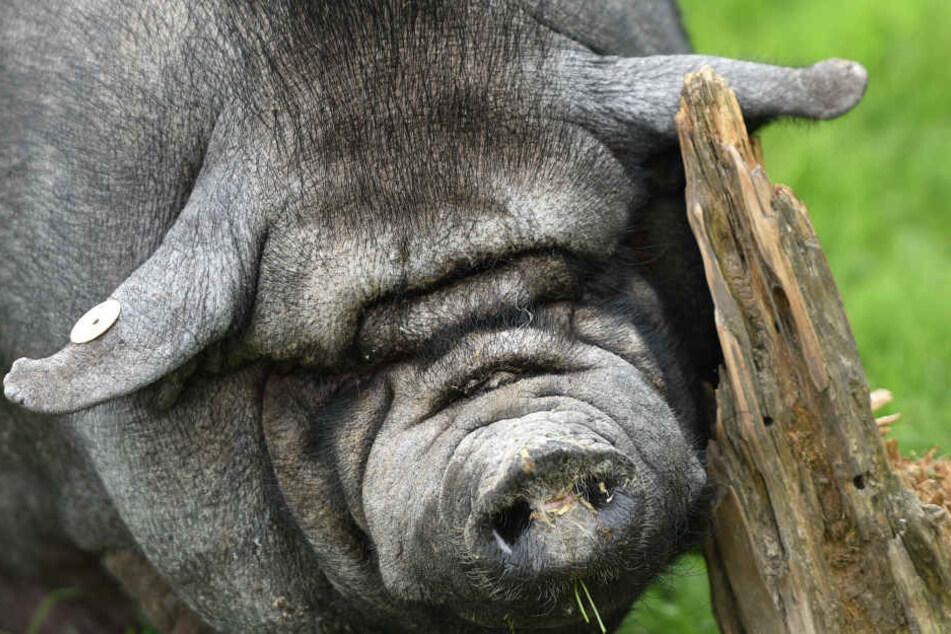 Das Hängebauchschwein ist auf der Suche nach einem Partner. (Symbolbild)