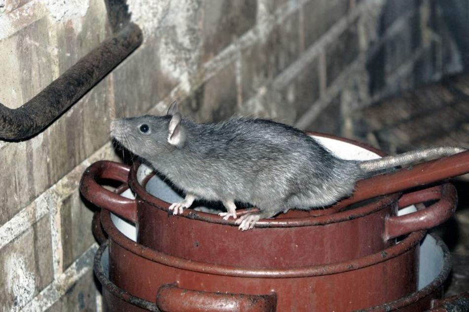 In Laubach droht ein Rattenproblem. Nun geht die Stadt dagegen vor (Symbolfoto).