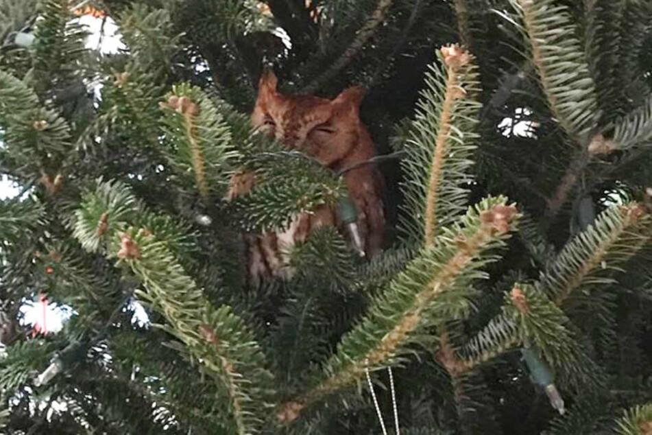 Was war denn da los? Im Weihnachtsbaum lebte eine Eule.