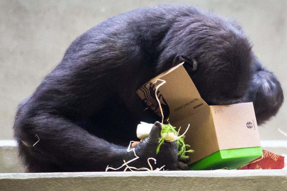 Ein Gorilla schaut in der Wilhelma am ersten Weihnachtsfeiertag in ein Weihnachtspäckchen.