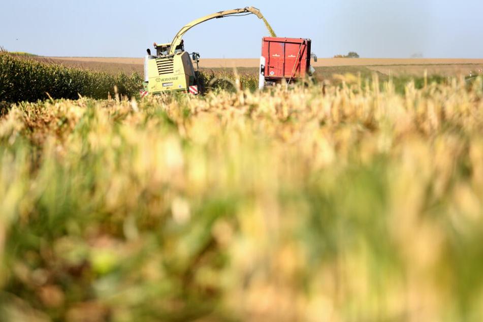 In Bayern wird wieder mehr Mais, statt Raps, angebaut.