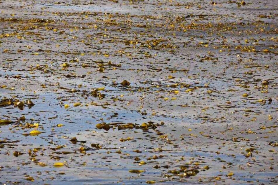 Algen wachsen rasend schnell: Karl-Heine-Kanal muss entkrautet werden