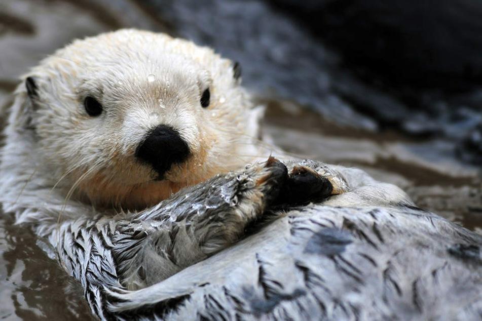 Deutsche und tschechische Otter sollen durch ein EU-Projekt gerettet werden.