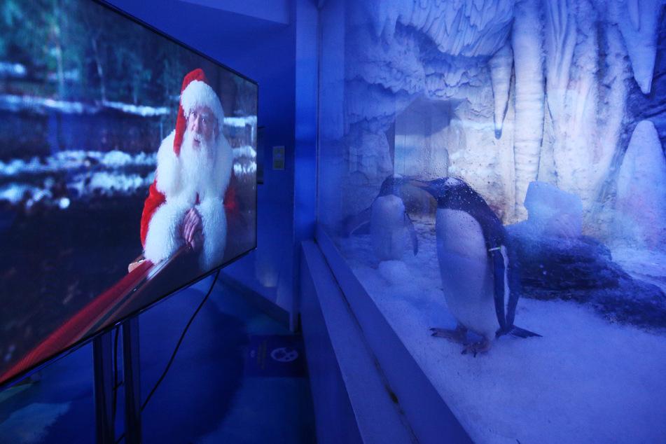"""Ein Pinguin steht im """"Sea Life London Aquarium"""" in London an einer Glasscheibe und guckt einen Weihnachtsfilm."""