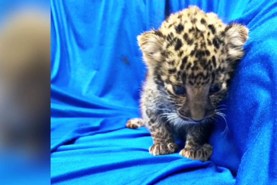 Kaum zu glauben, wo dieses süße Leoparden-Baby gefunden wurde!