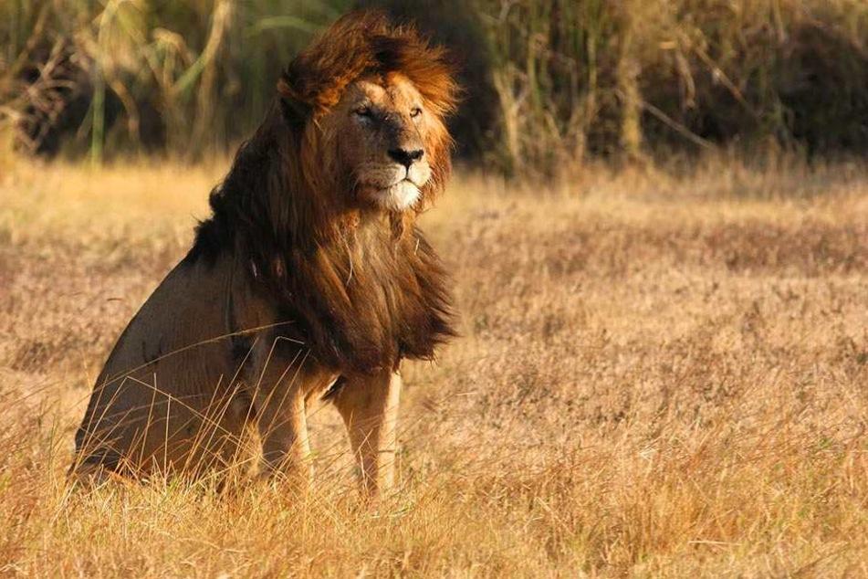 Auf einem privaten Reservat werden die Löwen in Gefangenschaft gehalten, damit Jäger sie erlegen können. (Symbolbild)