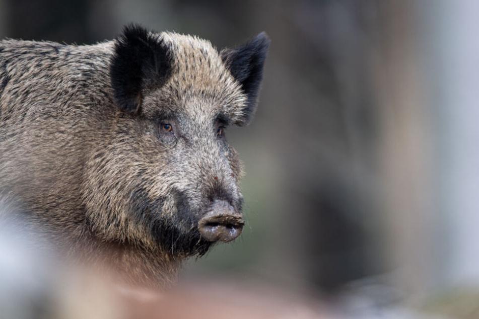 Ein Wildschwein steht auf einem Plateau im Wald.