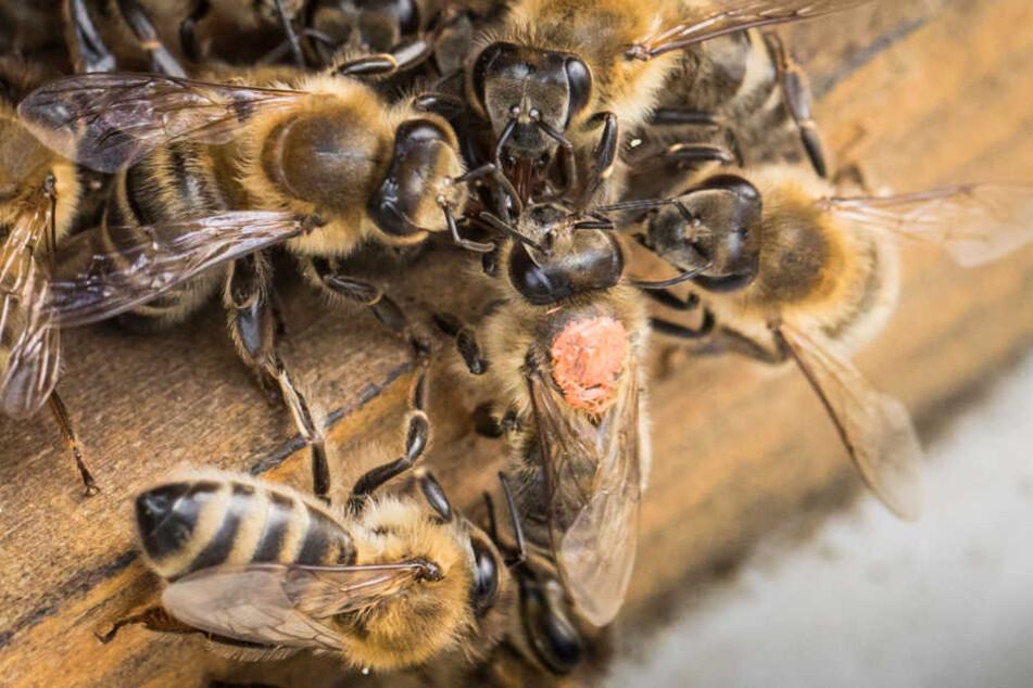 """Die Bienen wurden vor dem """"Rennen"""" mit einem Farbklacks markiert, damit man sie auseinander halten konnte."""