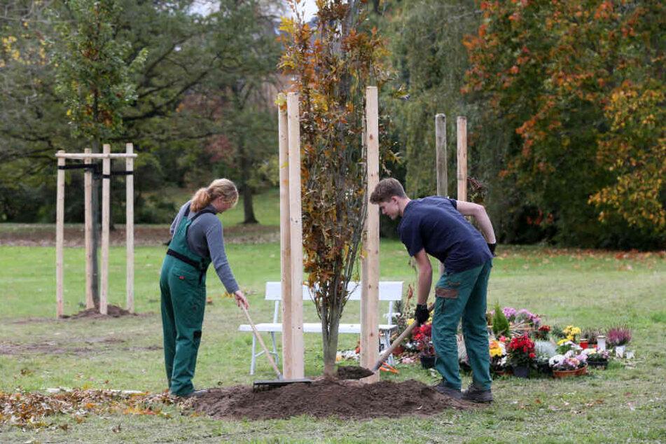 Einer von zehn Gedenkbäumen für die NSU-Opfer in Zwickau wird neu gepflanzt.