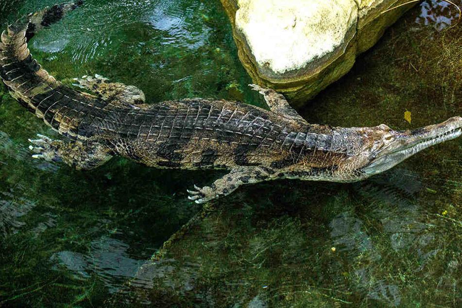 Krokodil de Gaulle hat sich mittlerweile blenden im Dresdner Too eingelebt, er nascht gern Täubchen und Fisch.