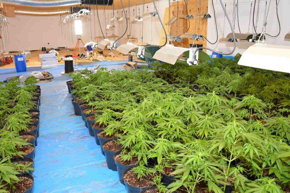 In der Indoor-Plantage wurden über 450 Cannabis-Pflanzen herangezüchtet.