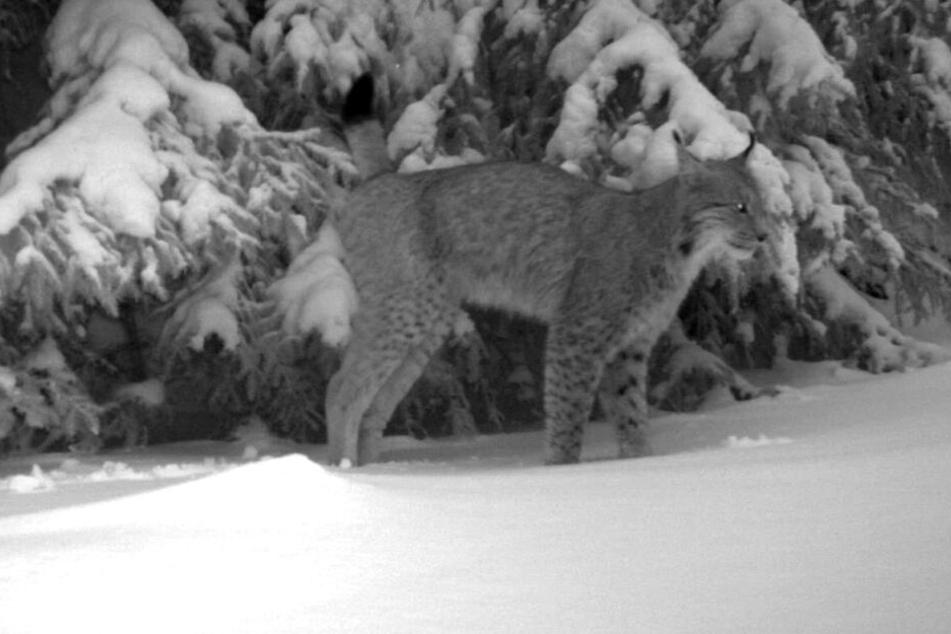 Immer wieder tappen die Wildtiere in die Kameras.