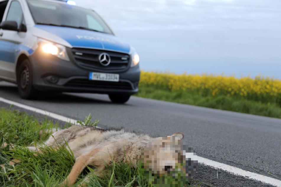 Das Jungtier wurde von einem Auto erfasst.