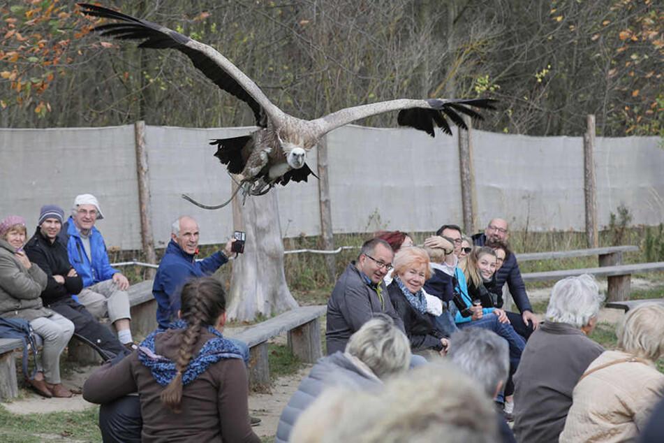 Die Falknerei soll einen neuen Standort erhalten. Schneegeier Gabi begeistert im Tiefflug die Besucher.