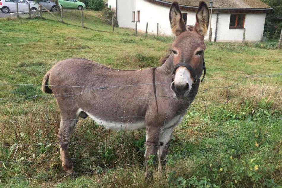 """Der Esel """"Vitus"""", der den Sportwagen für einen Leckerbissen hielt, steht in Schlitz auf einer Weide."""