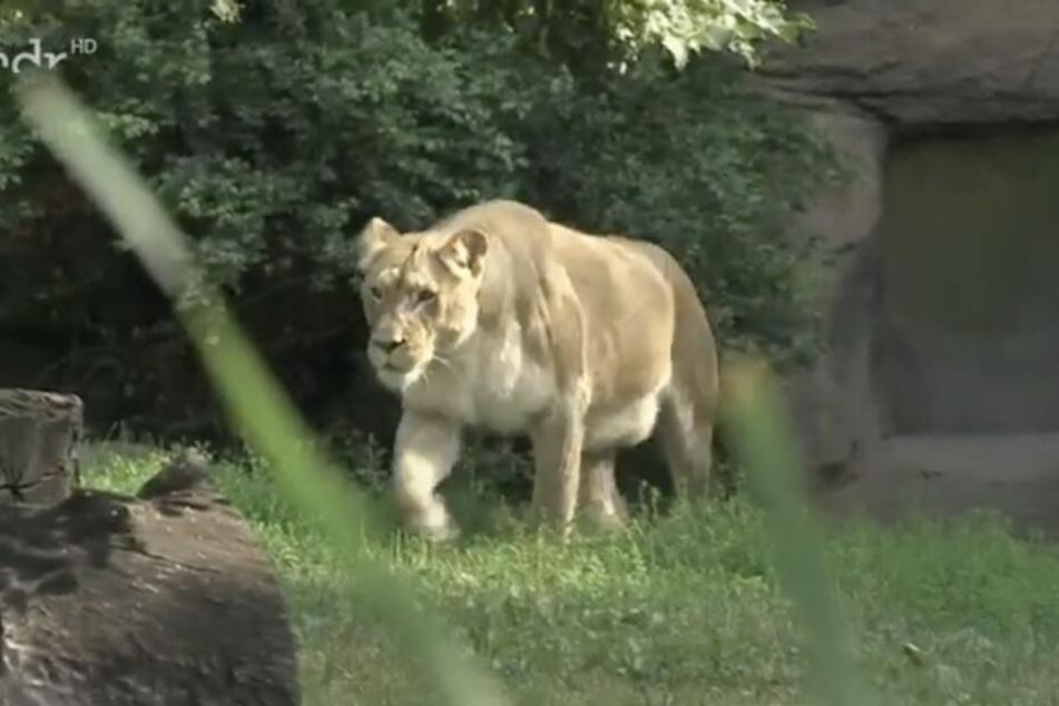 Der hängende Bauch von Löwin Kigali ist deutlich zu erkennen. Jeden Tag kann sie ihre Jungtiere gebären.