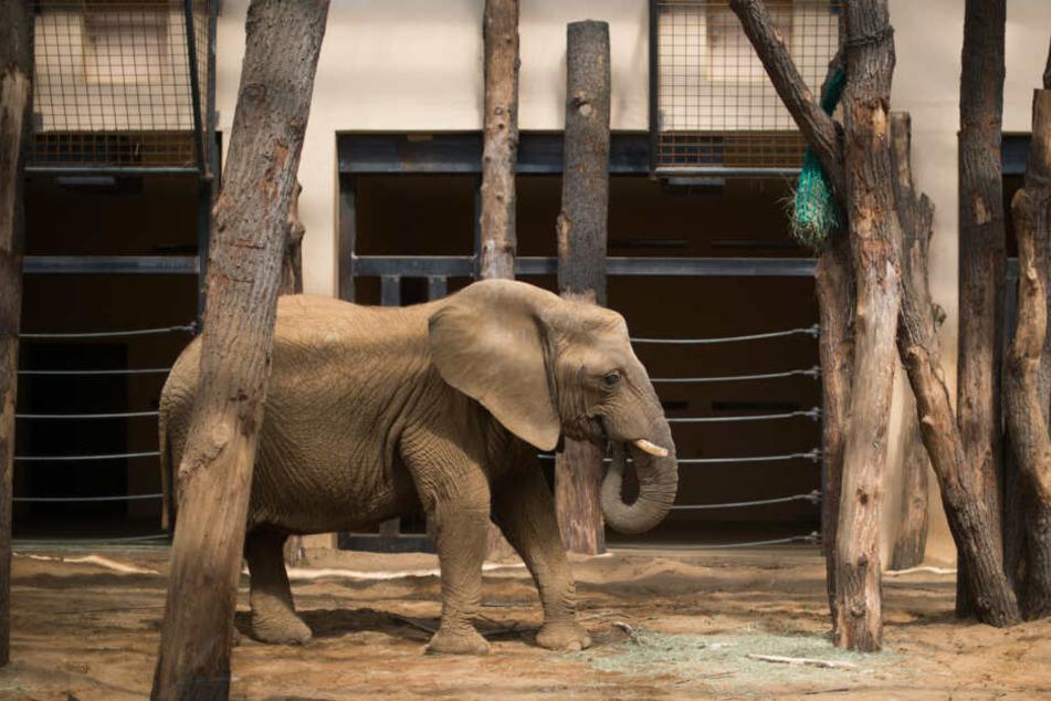 Schmerzhafter Unfall: Elefant reißt sich in Zoo Rüsselspitze ab